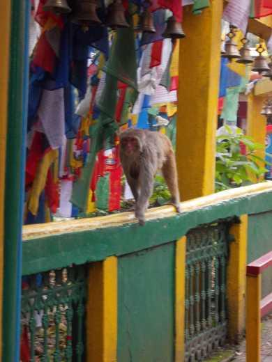 Aeffchen am Hindu-Tempel